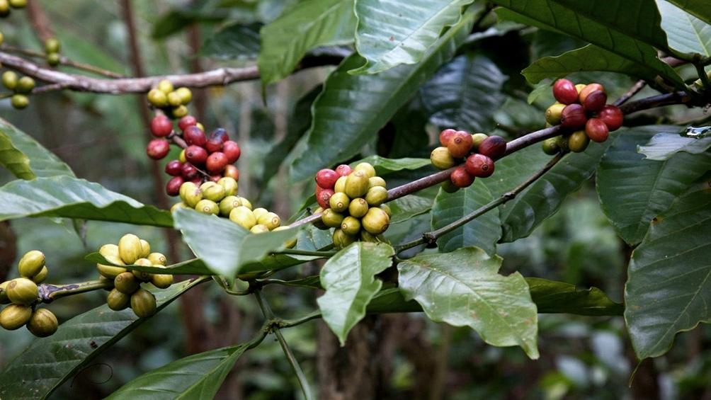 En México las comunidades indígenes impulsaron el cultivo orgánico de café.