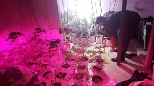 """Desbaratan una banda que """"clonaba"""" plantas y semillas para obtener marihuana """"gourmet"""""""