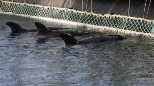 Multas millonarias a empresas por la captura ilegal de once orcas