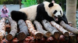 El posible embarazo de una hembra panda revaloriza las acciones en la bolsa de Tokio