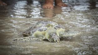 Devuelven al mar a una tortuga de 35 centímetros que había tragado residuos plásticos