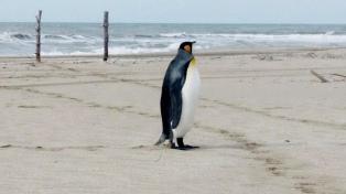 Por el aislamiento hay pingüinos en Miramar, carpinchos en Necochea y ciervos en el delta