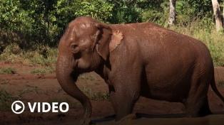 Una amiga, baños de tierra y caminatas sobre el pasto, la nueva vida de la elefanta Mara