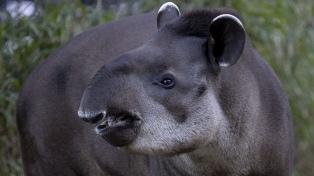 En el Día Mundial del Medio Ambiente, el Ecoparque recibió tres tapires