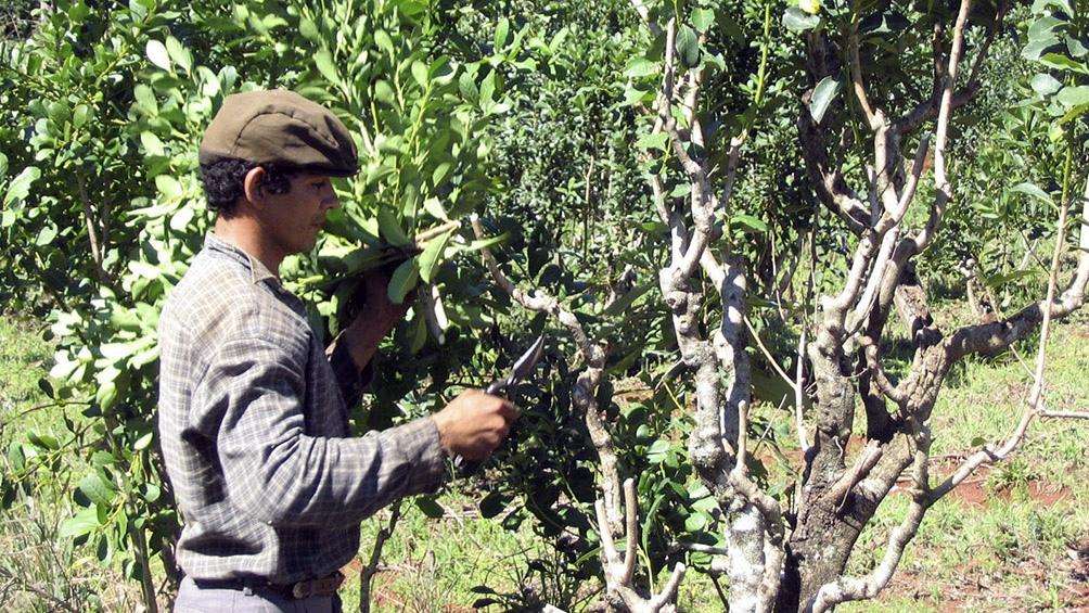 42 productores asociados de yerba mate y 15 no asociados de San Carlos iniciaron el emprendimiento