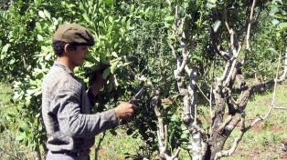 Pequeños productores de yerba se unen para industrializar en Corrientes la hoja verde