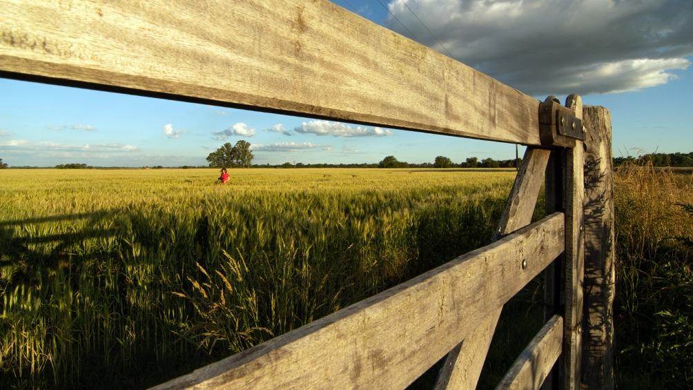 El trigo, junto a la cebada y el girasol son otros de los principales cultivosafectados por la sequía del centro-norte del país.