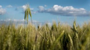 La campaña triguera dejará entre US$ 600 y US$ 890 millones menos por la sequía