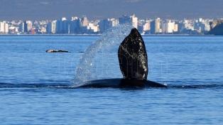 Logran identificar más de cien ballenas que tienen sus crías tanto en Brasil como Península Valdés
