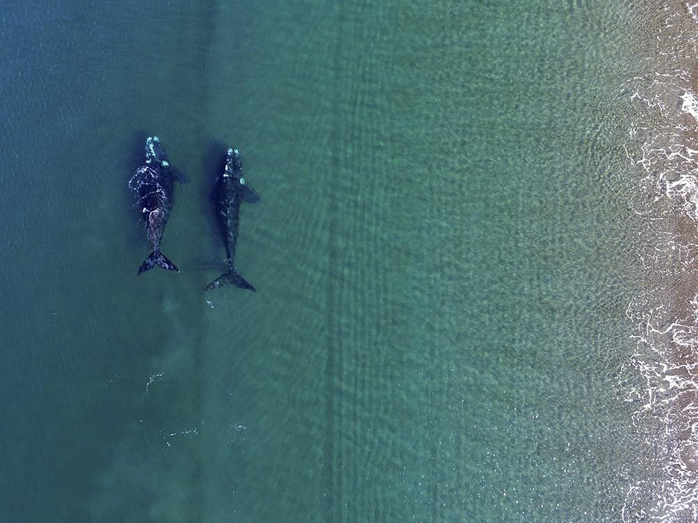 El viaje de las ballenas para tener sus crías