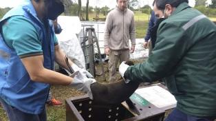 Rescataron un lobo marino en Gualeguaychú y lo trasladarán a San Clemente