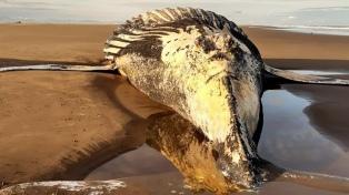 Analizaron el cuerpo de una ballena jorobada hallada muerta en playa de Marisol