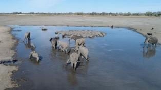 El elefante de selva africano está en peligro de extinción por los cazadores furtivos