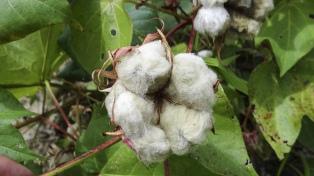 El precio de la fibra de algodón cayó 20% por retracción de la demanda