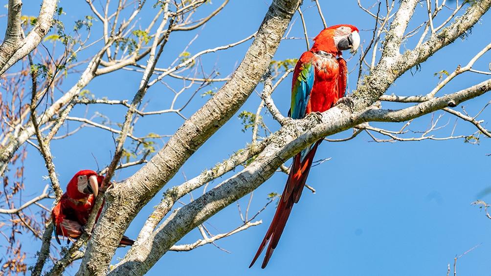Una vez liberadas las aves, se las monitorea a través de collares que dependen de una antena y se las visualiza.