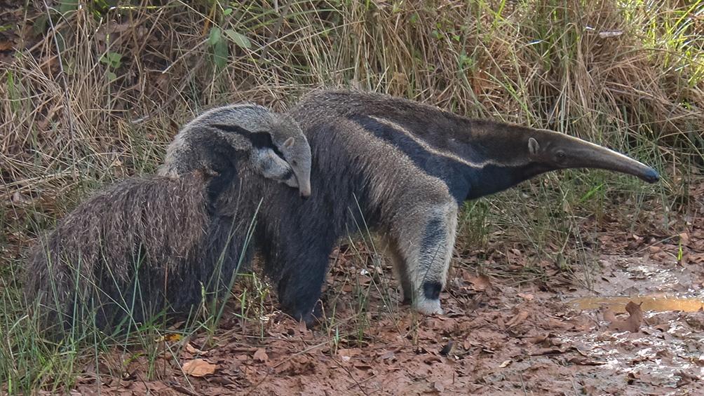 El oso hormiguero