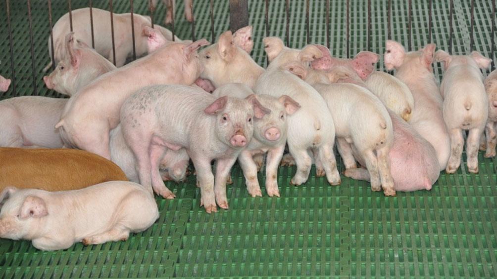 El proyecto de inversión prevé duplicar la cantidad de hembras reproductoras con un manejo intensivo.