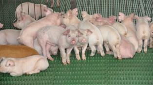 Nuevo pedido de informes por el acuerdo con China sobre el sector porcino