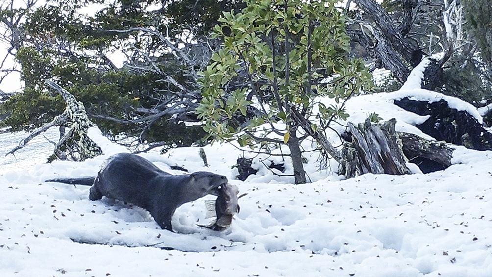 El huillín es una nutria nativa de Argentina y Chile; quedan muy pocos ejemplares y hay dos grandes poblaciones: una que es de agua dulce en Argentina principalmente y la otra es la población marítima o marina que está en Tierra del Fuego y Chile