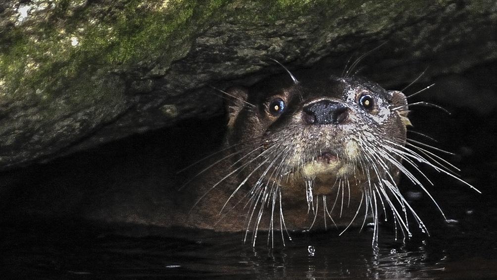 Las características del huillín, su hábitat, en qué lugares se lo puede ubicar y los factores que a lo largo de los años han afectado a esta especie nativa de la región.