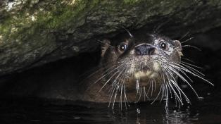 Buscan proteger en Tierra del Fuego a la nutria de la Patagonia