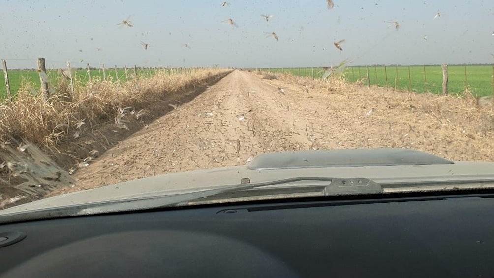 Según los reportes, los insectos han bajado a comer algunos cultivos de trigo pero no se registraron grandes daños.