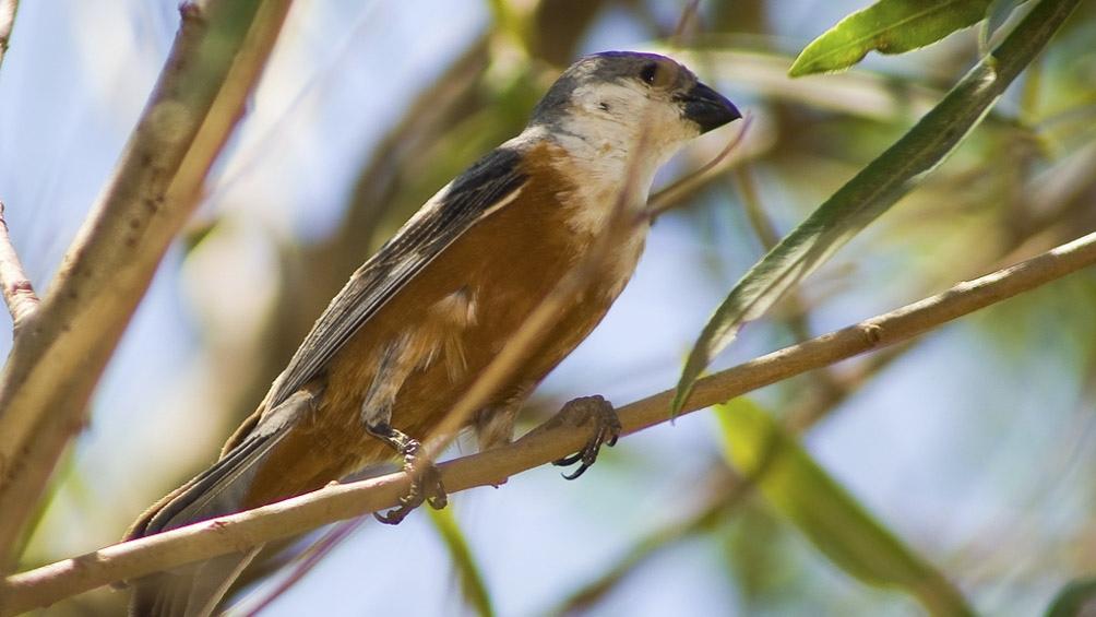 Durante el invierno, el capuchino Iberá migra a Brasil y Bolivia.