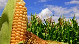 Preocupación de las bolsas de cereales por la suspensión de los registros de exportación de maíz