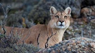 El puma deja de ser plaga y objeto de caza y se convierte en atractivo turístico