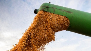Los precios de los granos subieron Rosario y la cotización del maíz volvió a acaparar la atención