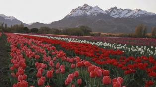 El Campo de Tulipanes de Trevelin, un espectáculo de colores en la primavera patagónica