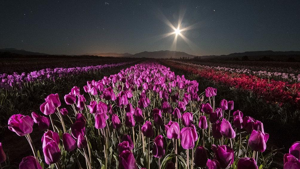 Los tulipanes de Trevelin, puerta de entrada a un recorrido maravilloso.
