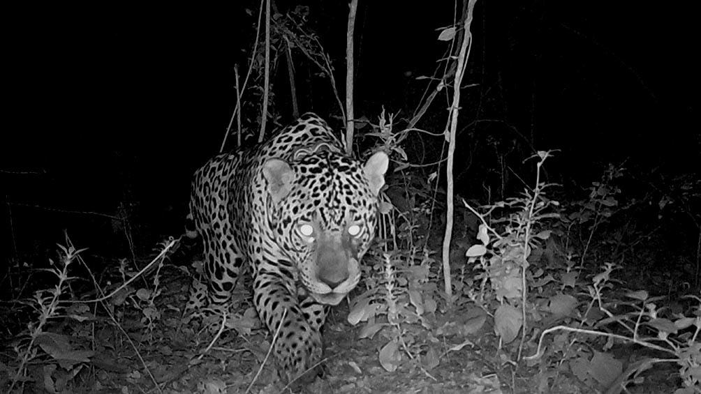 """""""Esto marca un momento bisagra de la recuperación de esta especie emblemática de Chaco en El Impenetrable""""."""
