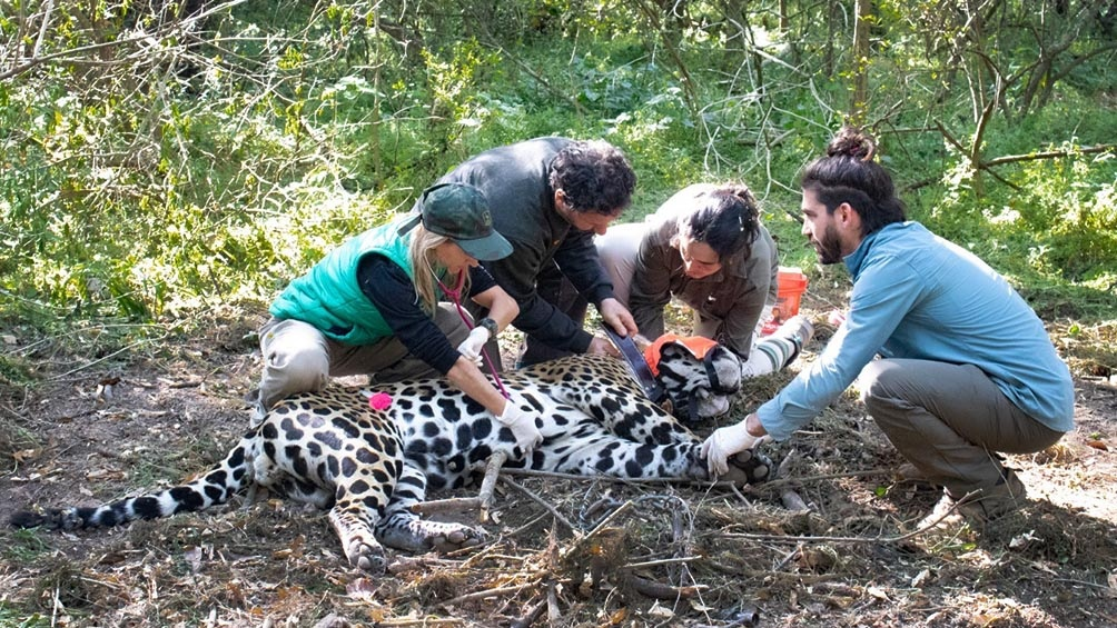 La Fundación Rewilding construyó un complejo que será habilitado con el inicio del próximo celo de Tania.