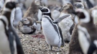 """Los pingüinos comenzaron a llegar """"sanos y fuertes"""" a las reservas de Chubut"""