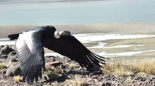 Un cóndor moribundo e intoxicado con plomo fue rescatado y ya vuela sobre los Andes