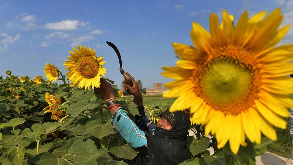 La sequía generó una baja en el área sembrada de girasol en torno del 78%.