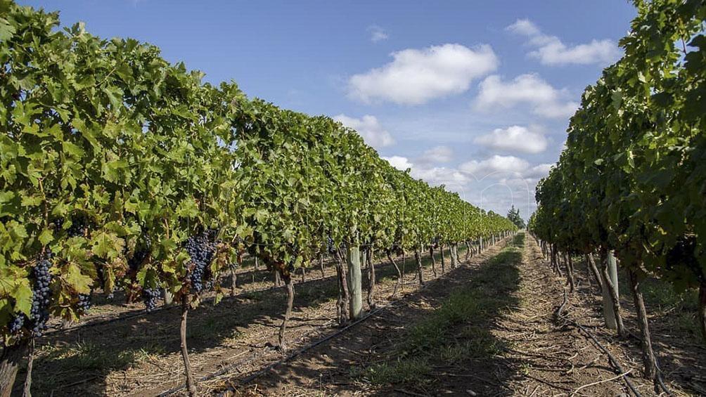 La Pampa tiene 280 hectáreas sembradas de vides y más de 25 bodegas en desarrollo.