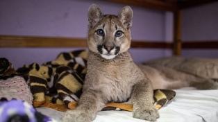 El puma rescatado en Mataderos se encuentra en buen estado en el Ecoparque porteño