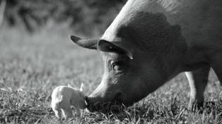 Un documental centrado en un cerdo es consagrado por el público