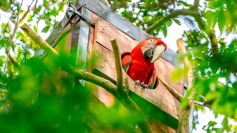 El programa de reintroducción de la especie puso fin a la extinción de estas aves por más de 170 años en Corrientes.
