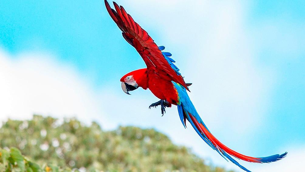 Los guacamayos silvestres dan un color único a la fauna de los esteros.