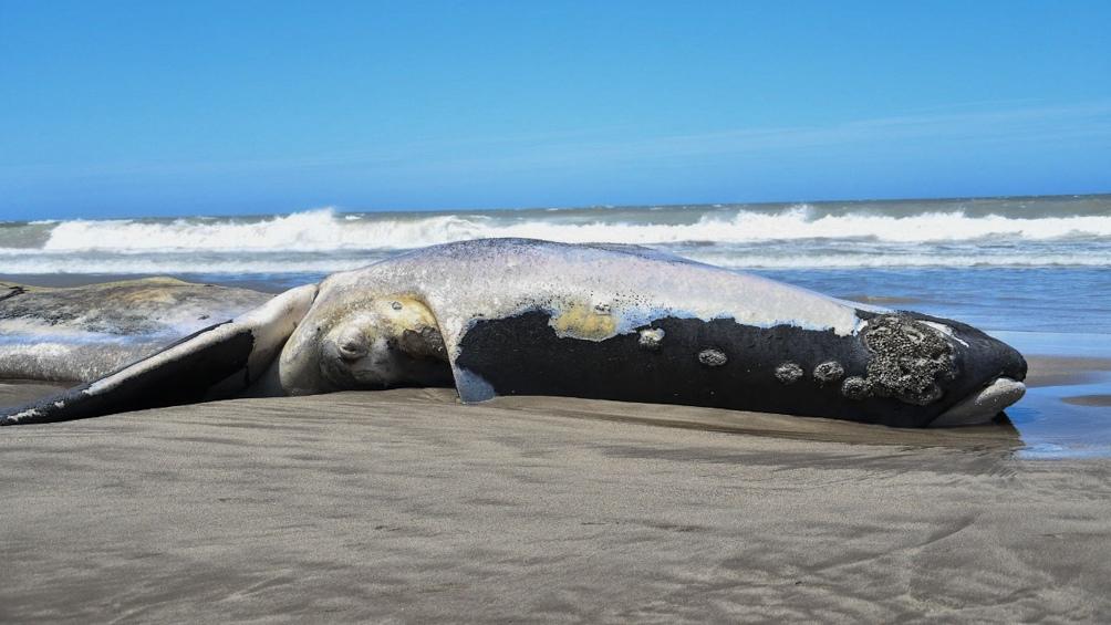 Una ballena franca austral fue encontrada muerta en una playa de Necochea