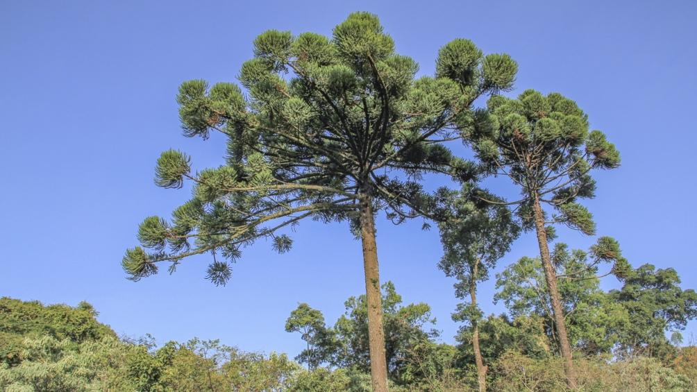 Preservar los pinares de araucaria o