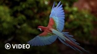 Los guacamayos están aquí: el regreso de los espectaculares loros gigantes rojos