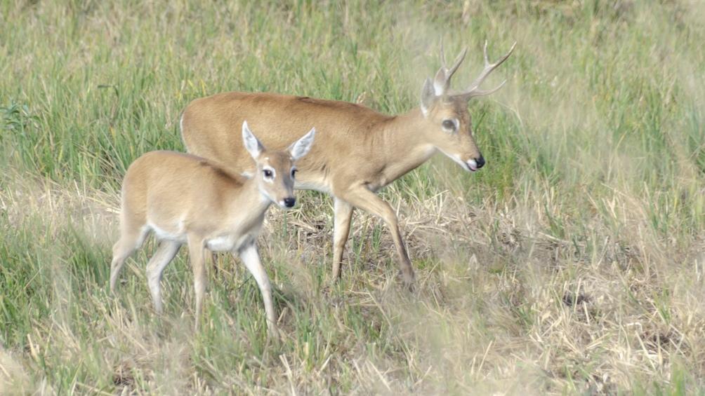 El ciervo de las pampas prácticamente estaba desaparecido. Campos del Tuyú lo está salvando.
