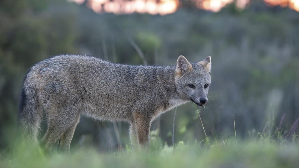 En los pastizales es común ver zorros, gatos monteses y hurones.