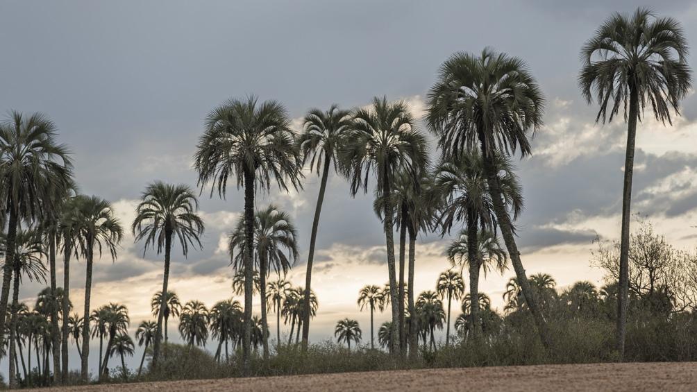 Hace un siglo, los palmares de yatay eran habituales en el sur de Paraguay, Brasil, Corrientes y Entre Ríos.