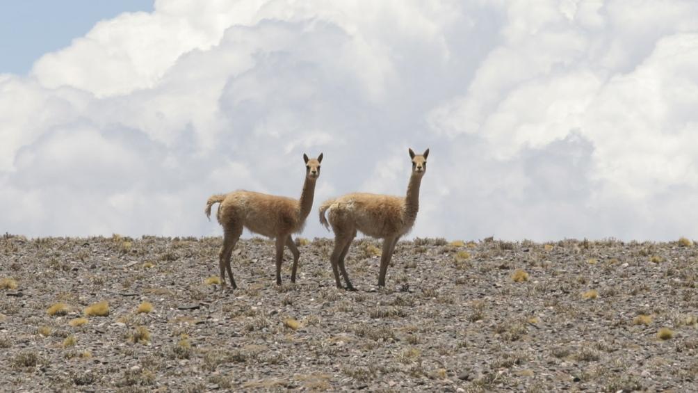San Guillermo reúne una de las mayores concentraciones de vicuñas, mamífero que estuvo en peligro de extinción.