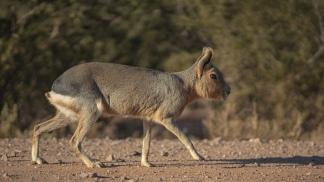 La mara (liebre patagónica) es uno de los animales más característicos.